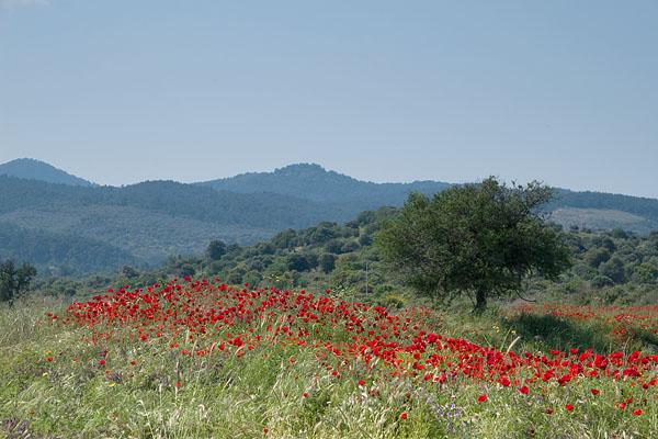 22bx_2822_poppy_landscape_600